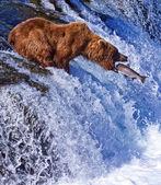 Medvěd grizly na aljašce — Stock fotografie
