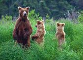 在阿拉斯加 grizly 熊 — 图库照片