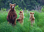 Orso Grizly in alaska — Foto Stock