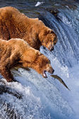Grizly φέρουν στην αλάσκα — Φωτογραφία Αρχείου