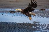 American Bald Eagle at Alaska — Stock Photo