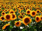 Color photography of sunflower field — Stock Photo