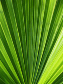 Green tropical palm leaf in detail — Stock Photo