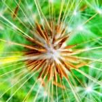 Dandelion flower detail — Stock Photo