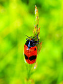 Ladybug on grass — Stock Photo