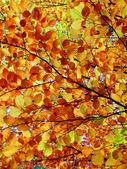 Autumn beech tree — Stock Photo