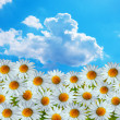 Daisy flowers and blue sky — Foto Stock