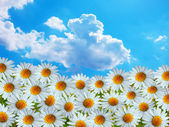 Daisy flowers and blue sky — Stock Photo