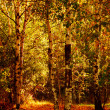 Autumn birch trees forest — Stock Photo