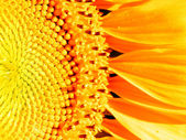 Macro photography of sunflower — Stock Photo