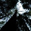 Big pine trees from bottom view — Stock Photo #35553853
