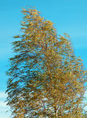 Detail photography of birch tree in the wind — Stock Photo
