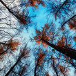 Larch trees from the bottom view — Stock Photo
