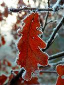 Bevroren eik bladeren — Stockfoto