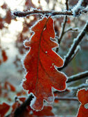 Frozen oak tree leafs — Stockfoto