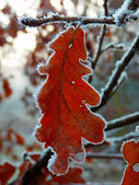 Frozen oak tree leafs — ストック写真