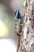 Focus A Chameleon on Tree. — Stock Photo