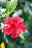 Red hibiscus flower. — Stock Photo