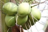 Die junge kokosnuss. — Stockfoto
