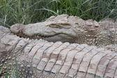 The Crocodile. — Stock Photo