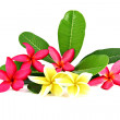 Stock Photo: Red and yellow frangipani colors.