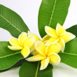 Stock Photo: Yellow frangipani colors.