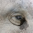 Eyes of the Asian elephant. — 图库照片