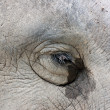 Eyes of the Asian elephant. — Stock Photo
