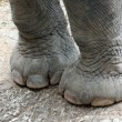 Asian elephants' feet healthy. — Stock Photo