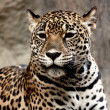 Leopard relaxing. — Stock Photo #25299093