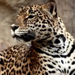 Leopard relaxing. — Stock Photo #25299293