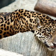 Leopard relaxing. — Stock Photo #25299645