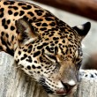 Leopard relaxing. — Stock Photo