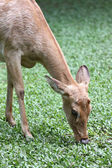 The side of the head deer eatting. — Stock Photo