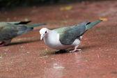 Las palomas fueron caminando para encontrar alimento. — Foto de Stock
