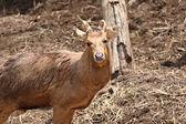 野生の鹿が大きな関心を持って見つめています。. — ストック写真