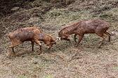 Wild deer were fighting to wrest area. — Stock Photo