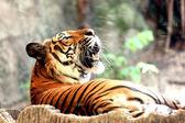Tigre ringhiante gridare. — Foto Stock