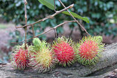 Rambutan put on the tree. — Stock Photo