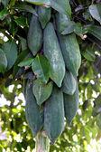 Papaya is not ripe. — Stock Photo