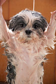Wet dog after a bath. — Stock Photo
