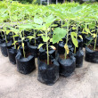Stock Photo: Seedlings to organize in garden.
