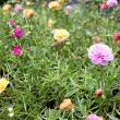 Stock Photo: Common purslane flowers in garden.