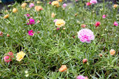 Common purslane flowers in the garden. — Stock Photo