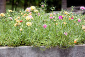 Common purslane flowers in the garden. — Stock Photo
