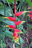 Heliconia flowers in the garden. — Stock Photo