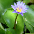 Hight view Violet lotus in the pool. — Stock Photo