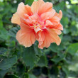 Orange Hibiscus flowers in the backyard. — Stock Photo