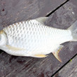 Stock Photo: Barb of Cyprinidae fish.