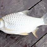 The Barb of Cyprinidae fish. — Stock Photo